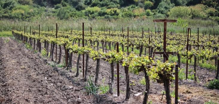 vine, wine tour, israel