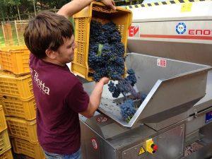 Загрузка винограда в крешер на винодельне Ca'Botta, Венето, Италия
