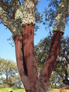 Cork oak Quercus suber