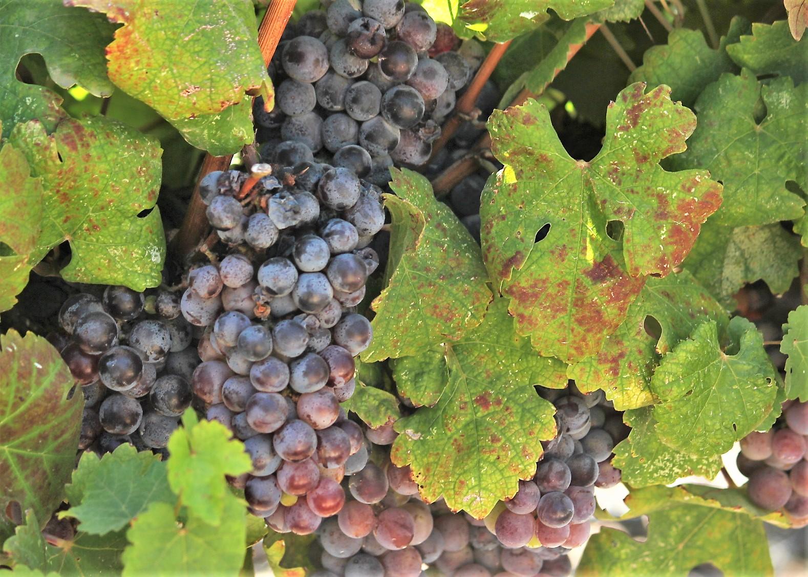 Баркан виноград